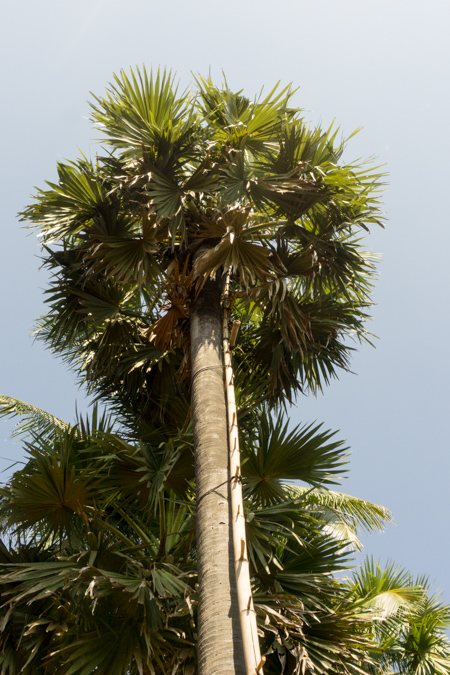 These ladders are for collecting sap for palm sugar